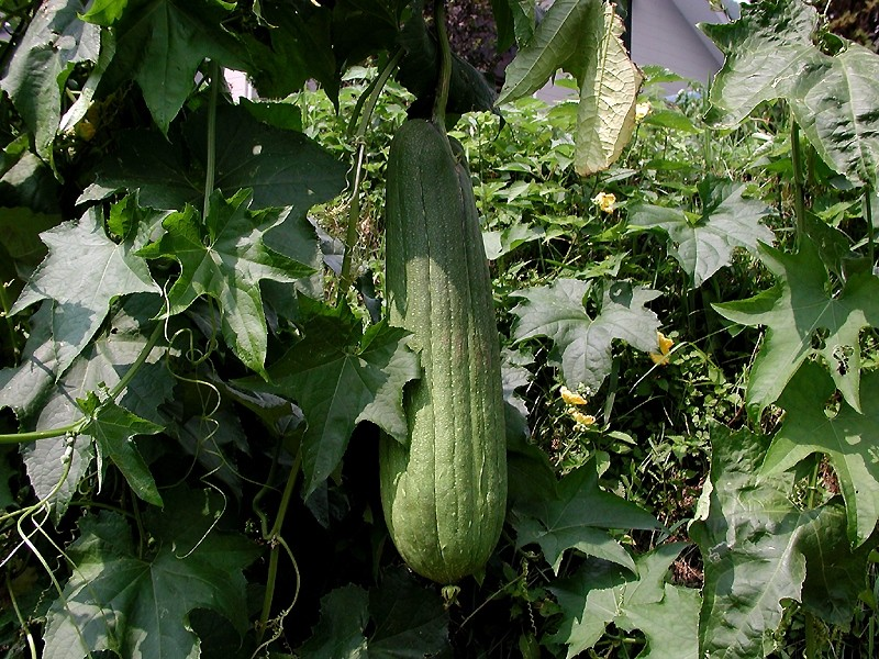 Luffa loofah fruit
